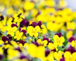 Flores amarillas y violeta