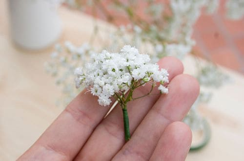 Paniculata para ramos